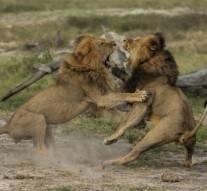 Jericho, le frère du lion Cecil, est toujours vivant