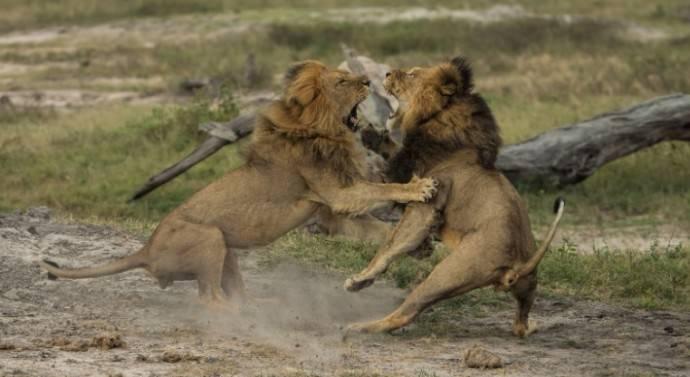 Un chasseur dévoré entièrement par des lions