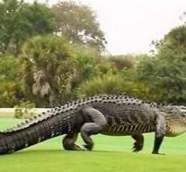 Vidéo : un alligator colossal fait irruption dans un terrain de golf