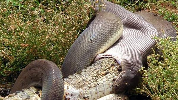Vidéo : un crocodile avalé en entier par un serpent géant