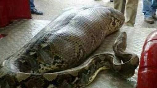 Une femme dévorée par un python géant en Indonésie