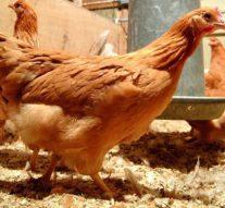 Ces poules pondent des œufs qui guérissent le cancer