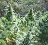 Ces pays africains qui ont décidé de cultiver et exporter du cannabis