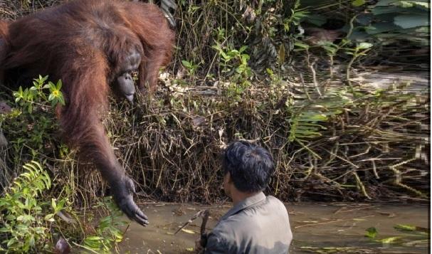 Un orang-outan propose de sauver la vie d'un homme après avoir cru que ce dernière était tombé dans une eau remplie de serpents