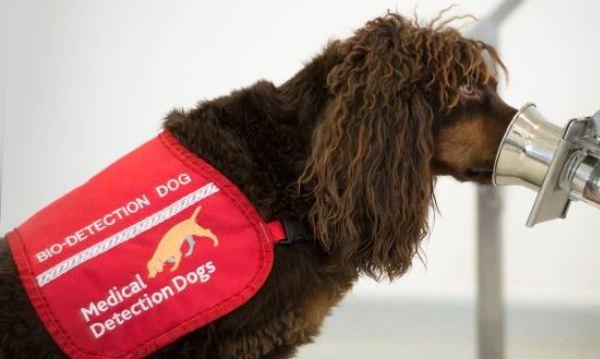 Des chiens pour détecter le coronavirus chez les gens malades